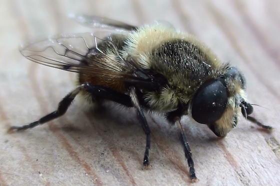 Syrphidae: Eristalis? - Eristalis anthophorina