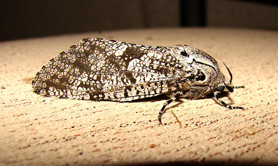 moth - Prionoxystus robiniae