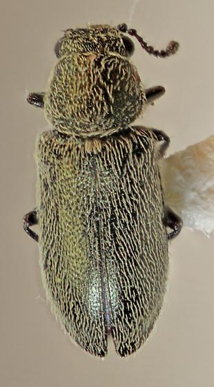 Melyridae - Listrus