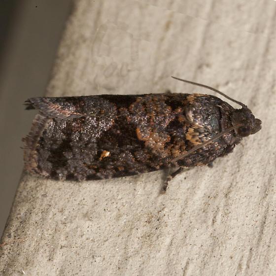 Dotted Ecdytolopha Moth - Hodges #3495  - Cryptaspasma bipenicilla