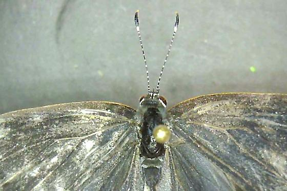 Lepidopteran family? - Calycopis cecrops