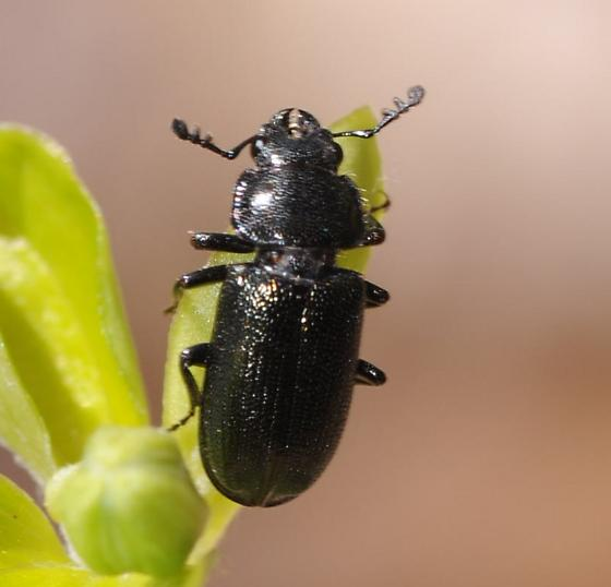 Mystery Beetle - Platycerus quercus