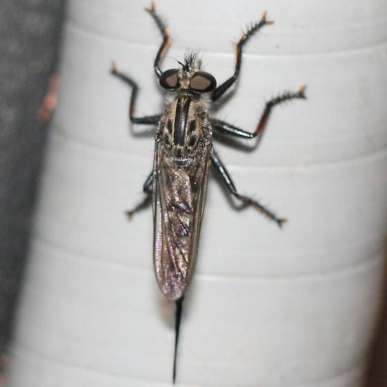 Robber Fly - Dorsal - Efferia aestuans - female