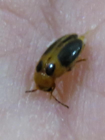 Tried but failed to identify this very distinctly marked beetle - Sacodes pulchella