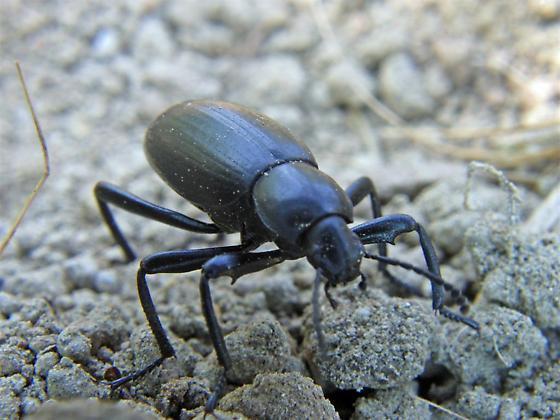 common beetle? - Eleodes armata
