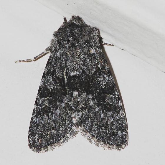 Lasionycta perplexa