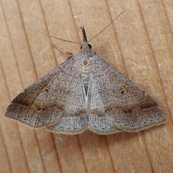 Erebidae: Renia flavipunctalis - Renia flavipunctalis