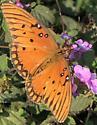 Butterfly - Agraulis vanillae