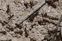 Texas Leaf Cutting Ants - Atta texana
