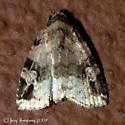Moth - Ozarba aeria