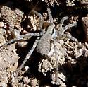 Unidentified Spider - Syspira