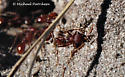 Harvester ants? - Pogonomyrmex badius