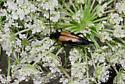 Alpine beetle 2 - Leptura propinqua