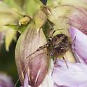 Araneidae - Neoscona arabesca