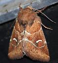 (065) Hodges#9455 - Amphipoea lunata
