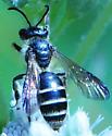 Mining Bees Andrena nubecula  - Andrena nubecula - female