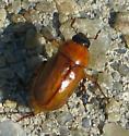 Tan Beetle - Cyclocephala lurida