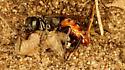 Unknown wasp - female