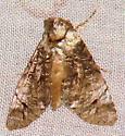 Moth - Concana mundissima-of-authors