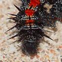 Caterpillar - Nymphalis antiopa