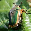 Green June Beetle or Figeater Beetle? - Cotinis nitida