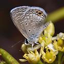Ceranus Blue - Hemiargus ceraunus
