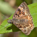ID for a Florida panhandle duskywing? - Erynnis horatius