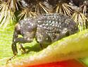 Weevil on Common Milkweed - Rhyssomatus lineaticollis