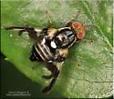 Fly sp - Rhagoletis pomonella