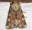 Orange and brown moth - Oligia rampartensis