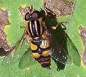 what species of hoverfly is this? - Helophilus fasciatus - male
