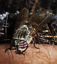 Horse Fly_Tabanus  - female