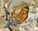 Unknown Butterfly Species - Phyciodes tharos