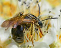 Andrena sp. mining bee (black, sparsely haired) - Andrena nuda