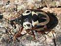 Anchor Stink Bug - Stiretrus anchorago