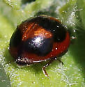 Which Ladybug is this? - Exochomus