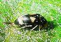 I would appreciate a proper scientific name for this animal. - Mordellistena trifasciata