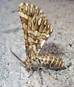 Unidentified Moth #4 - Fernaldella