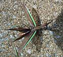 What's Going on with This Praying Mantis - Tenodera sinensis