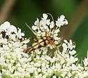 Flower Longhorn? - Strangalia luteicornis