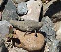 Grasshopper nymph - Dissosteira carolina