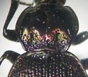 Sphaeroderus nitidicollis nitidicollis - Sphaeroderus nitidicollis