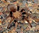 Tarantula - species? - Aphonopelma hentzi