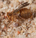 Danepteryx sp.? - Danepteryx