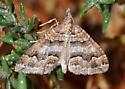 Moth on alkali heath - Perizoma epictata