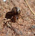 Female linyphiid - female