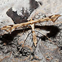 Plume Moth - Platyptilia carduidactylus