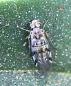 Indiopsocus sp? - Hyalopsocus striatus