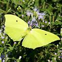 Yellow Angled-Sulphur - Anteos maerula