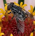 flower fly - Palpada furcata